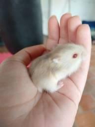 Título do anúncio: Procura-se hamster sirio em porto alegre