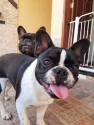 """Título do anúncio: Casal de Bulldog Francês (com Pedrigree) """"Fêmea no Cio"""""""
