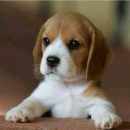 Beagle esperando sua visita