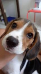 Vendo filhote de beagle macho 3 meses