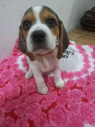 Título do anúncio: Beagle fêmea muito lindas!!