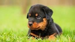Título do anúncio: Rottweiler Filhote