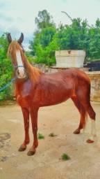 Cavalo castrado mangalarga