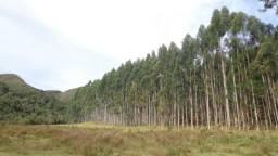 Imperdível! Venda de Eucalyptus Grandis (plantio acima de 10 anos)