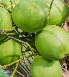 Coco verde a granel Rodelas Bahia