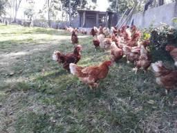 190 galinhas de postura criadas, criação caipira, isa brawn.