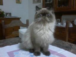 Filhote Gato Persa do Himalaia