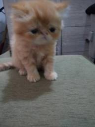 Gato persa show fêmea