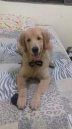 Vendo Cruza de Golden Retriever