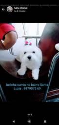 Cachorrinha maltês perdida