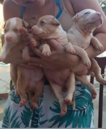 Filhotes de Pitbull monster (red bulkanas)