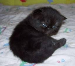 Quero um gato persa preto