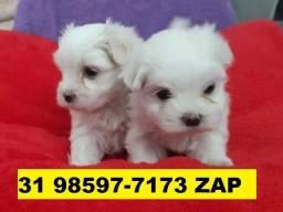Canil Filhotes Cães Alto Padrão BH Maltês Beagle Poodle Yorkshire Lhasa Shihtzu Basset