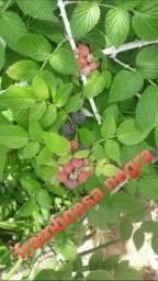 Framboesa negra e outras frutíferas