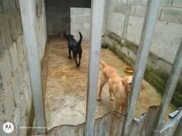 Título do anúncio: Labrador fêmea(Lagomar)