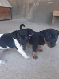 Vende-se dois cãozinho da raça pinscher 300,00 cada