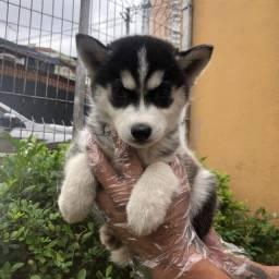 Título do anúncio: Filhotes de Husky Siberiano a Pronta Entrega