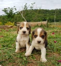 Título do anúncio: Filhotes de Beagle 13 Polegadas a Pronta Entrega