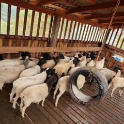 Título do anúncio: carneiros/ ovinos Dorper