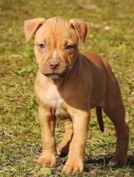 Filhotes de Pitbull Adoráveis