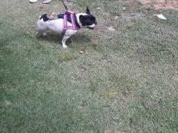 Linda bulldog no 8 dia de cio