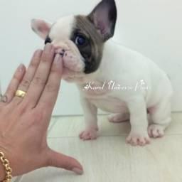 Maravilhosa Fêmea de Bulldog Francês