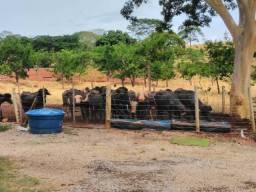 Touro búfalo