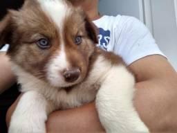 Último Filhote Border Collie olhos azuis