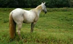 Vendo cavalo pedrez