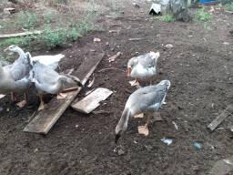 Vendo casal de ganso sinaleira