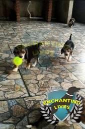 Disponível Beagle machos e fêmeas contrao, vacina e garantia, retirada no local