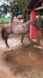 Vende-se ou troco cavalo QM registrado cavalo rosilho