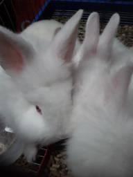 Mini coelhos lyon R$ 80,00 cada somente até dia 22/09/2020