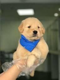 Golden retriever a pronta entrega com pedigree