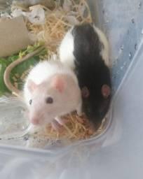 Ratinhos Twister