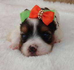 Bebês de Biewer Terrier disponível para reserva