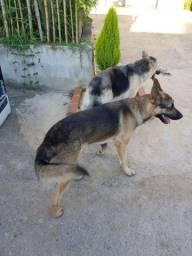 Cachorro e filhotes  Pastor alemão