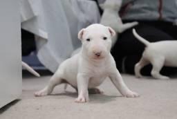Título do anúncio: Bull Terrier Inglês filhotes aproximadamente 60 dias(clínica em loja)