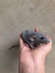 Título do anúncio: Rato Twister
