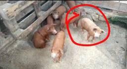 Título do anúncio: leitao leitoa leitaozinho porco suino pouso alto entrega obs