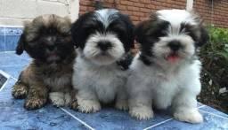 Título do anúncio: Lhasa Apso todas as cores , com pedigree e suporte veterinário gratuito!