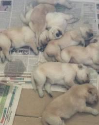 Título do anúncio: Filhotes de Golden Retriever. Vacinados, pedigree, contrato, enviamos até você!