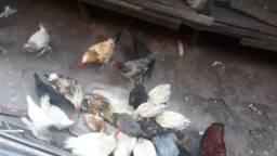 Título do anúncio: Vendo galos e galinhas adultos