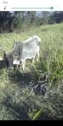 Vendo vaca de 4 cria