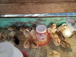 Vendo pintinhos mistos de galinhas caipiras e poedeiras com galo Índio Gigante...