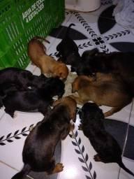 Adoção de filhotes de cachorros
