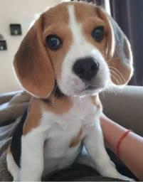 Título do anúncio: Beagle- Filhotes Lindos!!