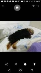 Yorkshire terrier fêmea