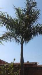 Palmeira emperial