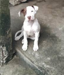 Vendo filhote macho de American Pitbull Terrier nascido em 01/09/19